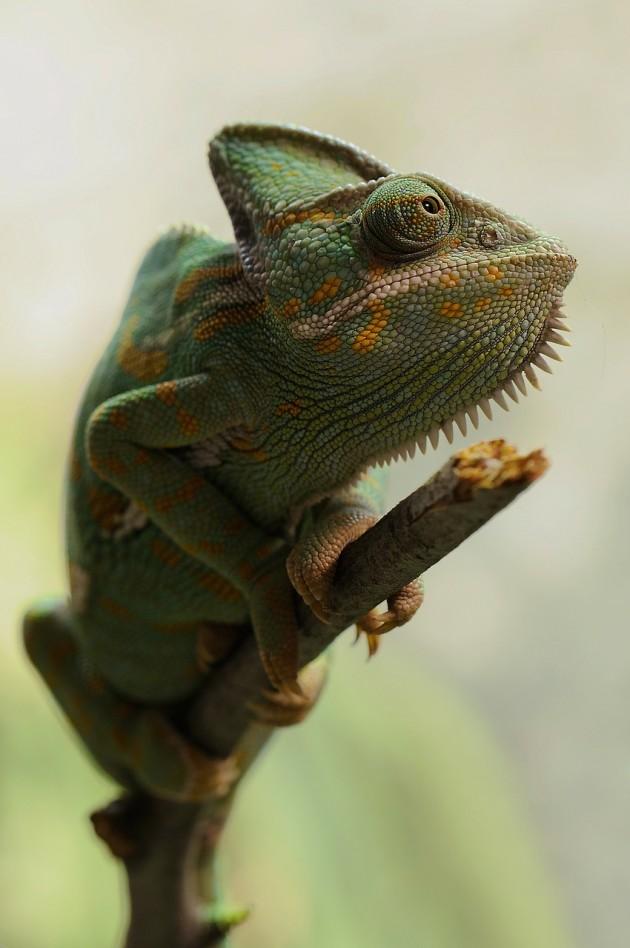 yemen-chameleon-233095_1280