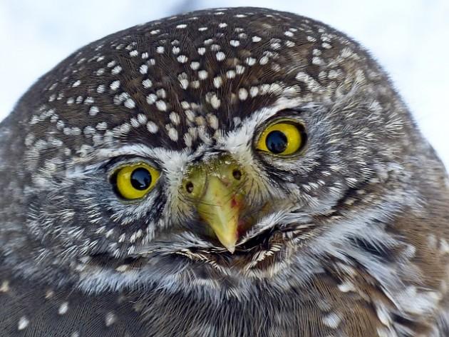 owl-243129_640